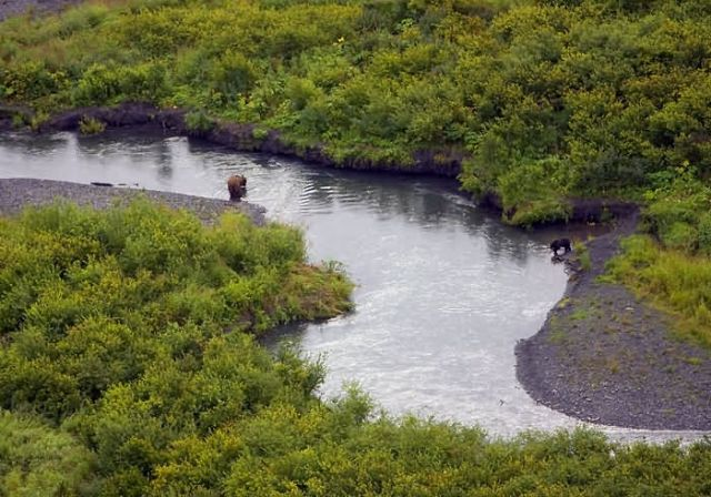 Brown Bear and Black Bear in the Upper Russian River Picture