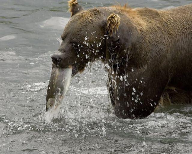 Brown Bear Feeding on Salmon Picture