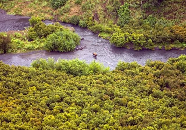 Brown Bear in the Upper Rissian River Picture