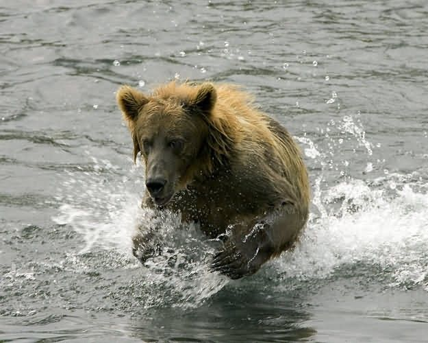 Brown Bear in Stream Picture
