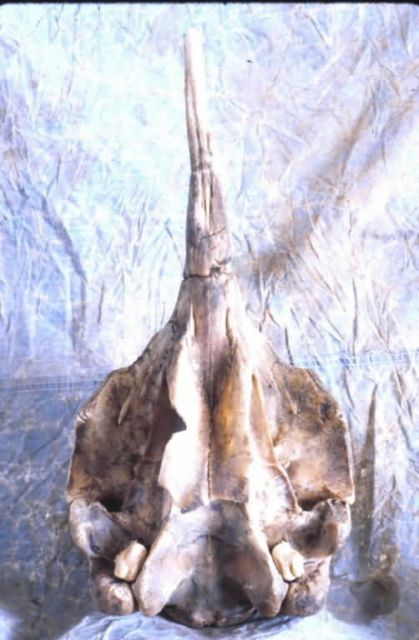 Whale Skull Picture