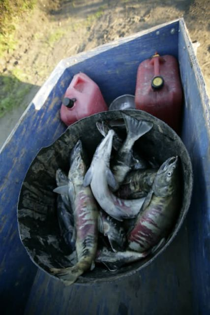 Subsistence catch of dog salmon on Koyukuk River Picture