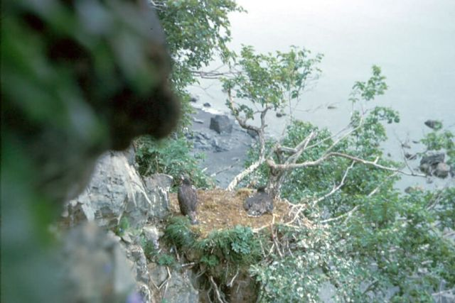 Bald Eagle Cliff Nest with Fledglings Picture