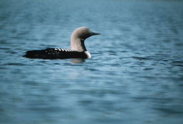 Arctic Loon on Water Picture