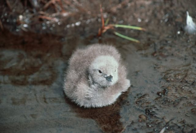 Pacific Loon Chick Picture
