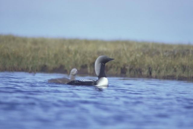 Arctic Loon and Brood Picture