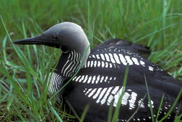 Arctic Loon or Pacific Loon on Nest Picture