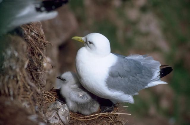Black-legged Kittiwake and Chick Picture