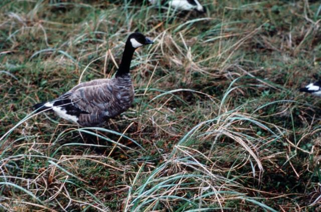 Cackling Canada Goose Picture
