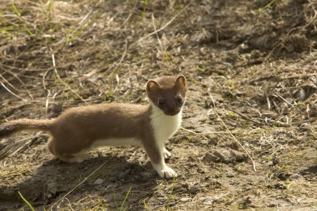 Weasel, Short-tailed Picture