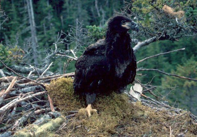 Eagle Nestling Picture