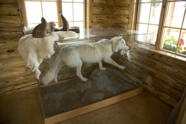 White wolf display at Bettles Ranger Station_ Picture