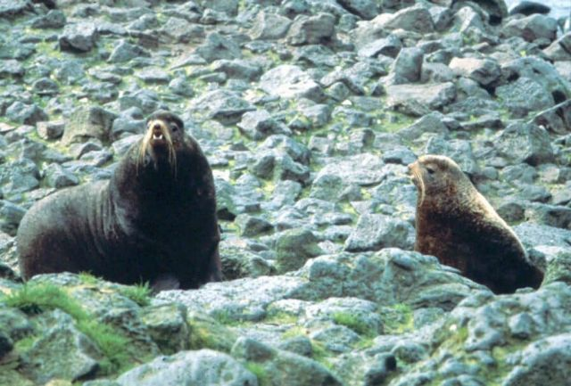 Northern Fur Seals Picture