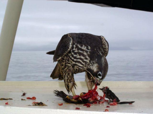 Peregrine Falcon on deck of AMNWR research vessel, M/V Tiglax Picture