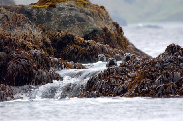 Harbor seals in the Aleutian Islands, AMNWR Picture