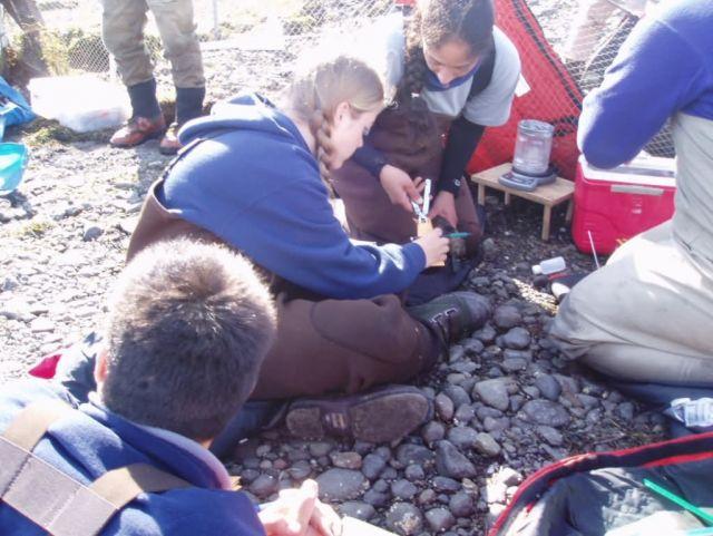 Steller's Eider Banding at Izembek National Wildlife Refuge Picture