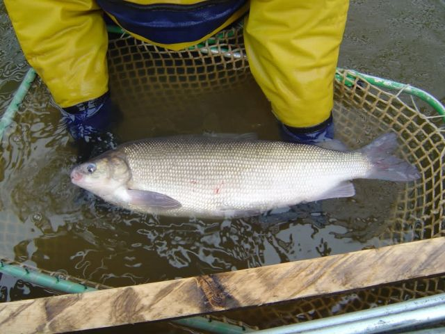 Broad whitefish Picture