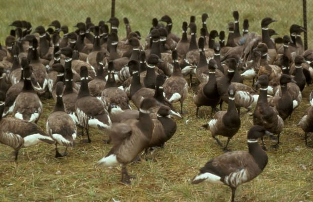 Flightless Brant Geese in Pen Picture