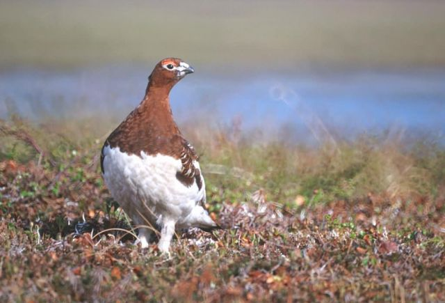 Willow Ptarmigan Picture