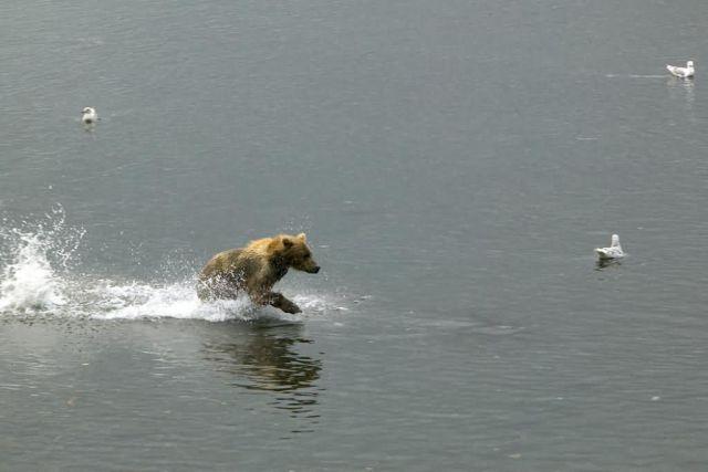 Brown Bear Running Through Water Picture