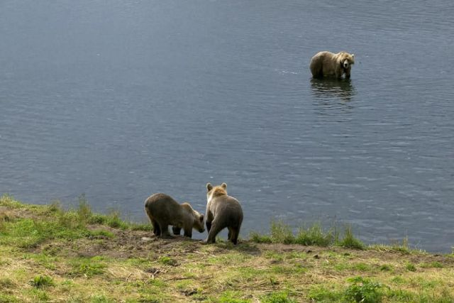 Brown Bears at Frazer Fish Pass Picture