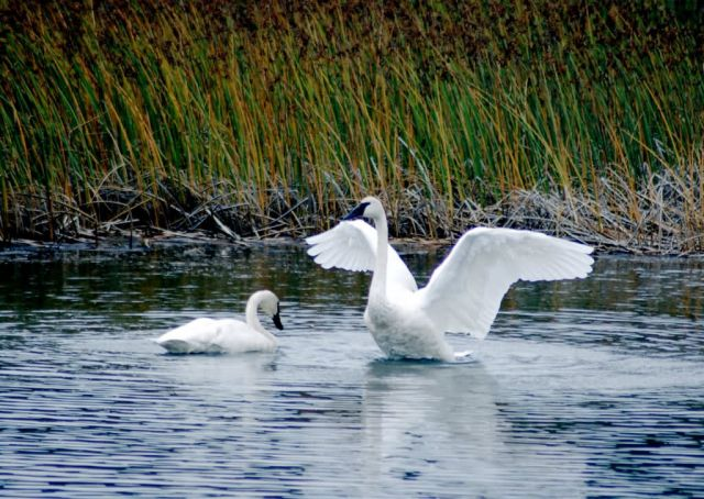 Trumpeter Swan at Potter Marsh Picture