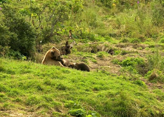 Brown Bear Sow and Cubs Picture