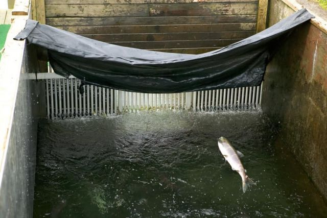Salmon Jumping at Frazer Fish Pass Picture