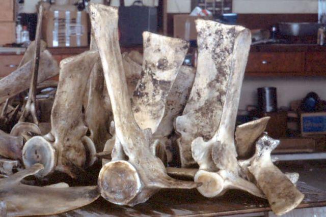 Whale Bones Picture