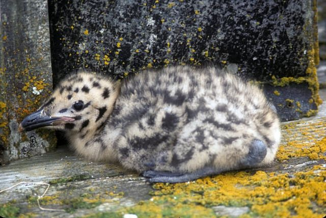 Glaucous-winged Gull Chick Picture