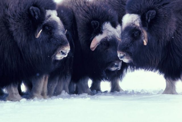 Trio of Musk Oxen on Nunivak Picture