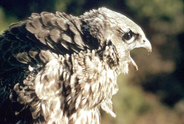 Gyrfalcon Picture