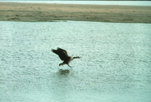 Canada Goose Landing on Water Picture