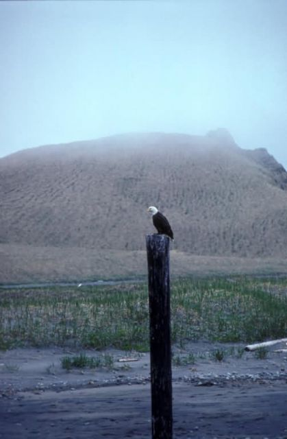 Bald Eagle on Post Picture