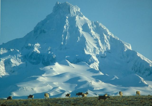 Caribou Herd and Isanotski Peak Picture