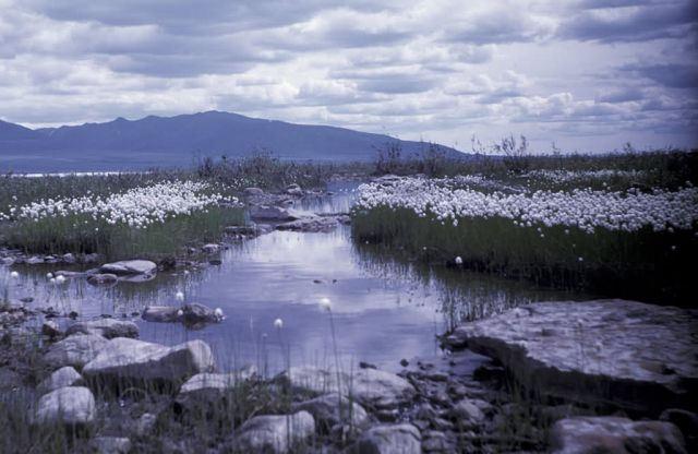 Cottongrass on Upper Coleen River Picture