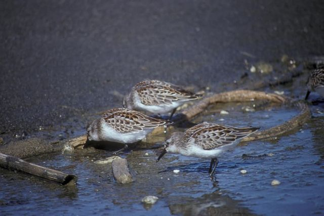 Western Sandpipers at Shoreline Picture