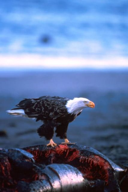 Bald Eagle on Whale Carcass Picture