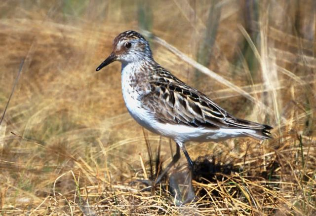 Semipalmated Sandpiper Picture