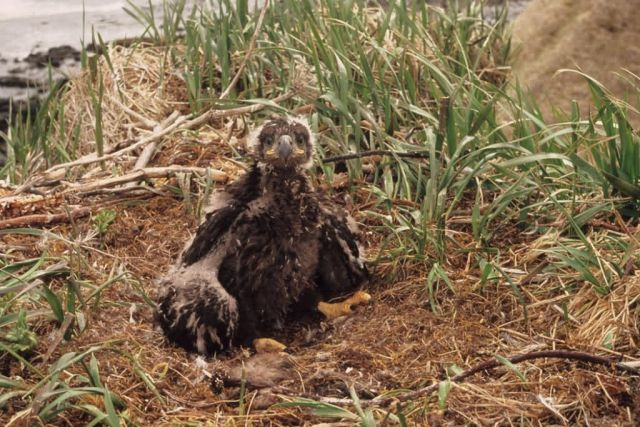 Bald Eaglet in Nest Picture