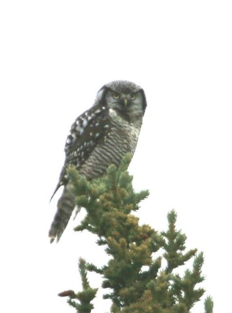 Northern Hawk Owl Picture