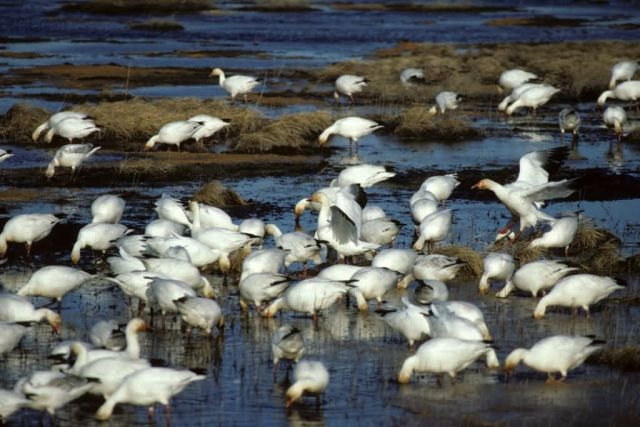 Snow Geese Flock at Water Picture