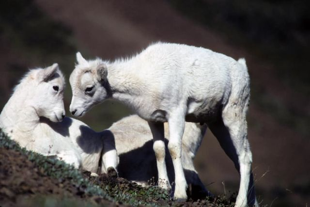 Dall Sheep Lambs Picture