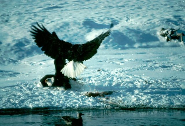 Bald Eagles Fighting over Fish Picture