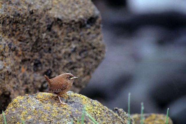 Winter Wren Picture
