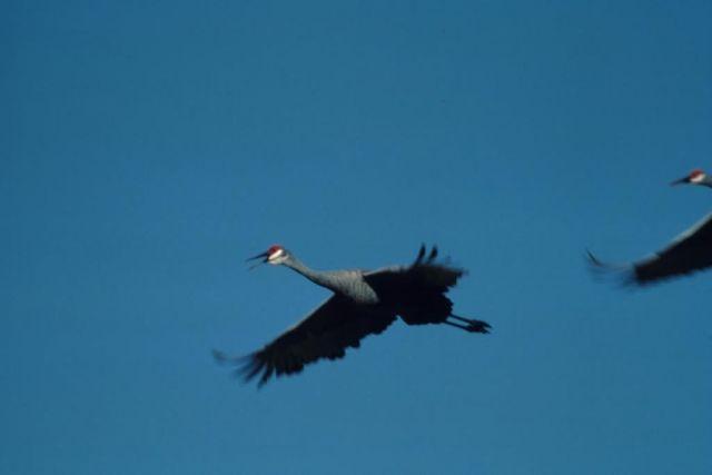 Sandhill Cranes in Flight Overhead Picture