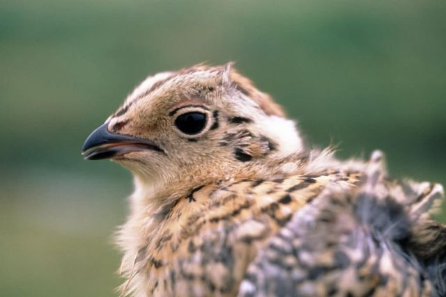 Young Ptarmigan Picture