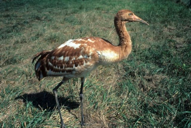 Young Whooping Crane Picture