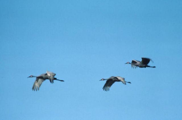 Sandhill Crane Trio Picture