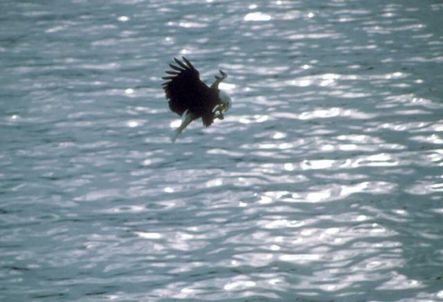 Bald Eagle Picture